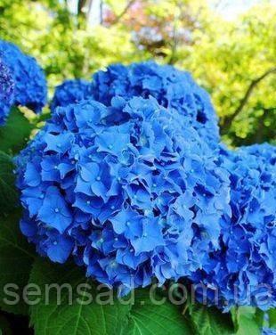 Гортензия крупнолистная Форевер Эвер Блю \ Hydrangea macrophylla Forever&Ever Blue ( саженцы )