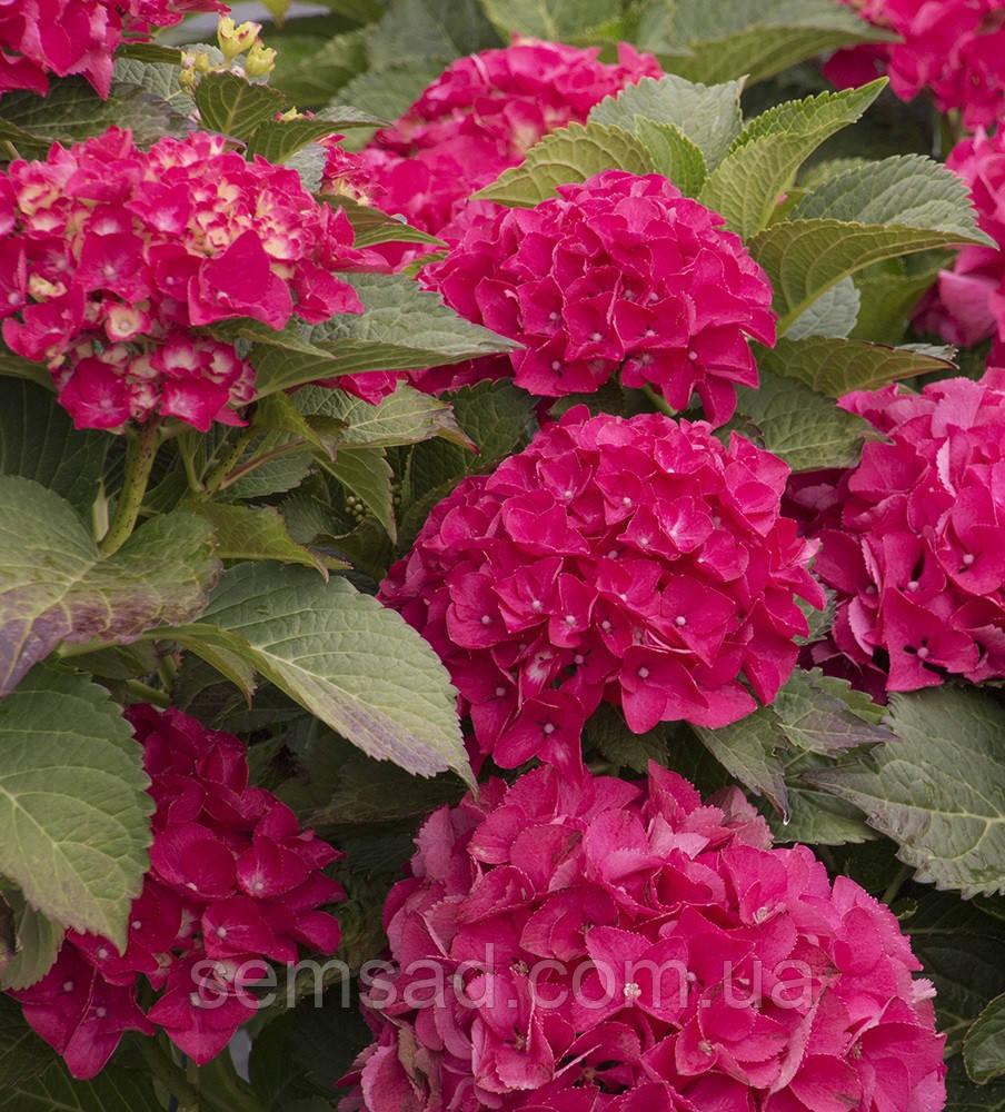 Гортензия крупнолистная Ситилайн Париж \ Hydrangea macrophylla Cityline Paris   ( саженцы )