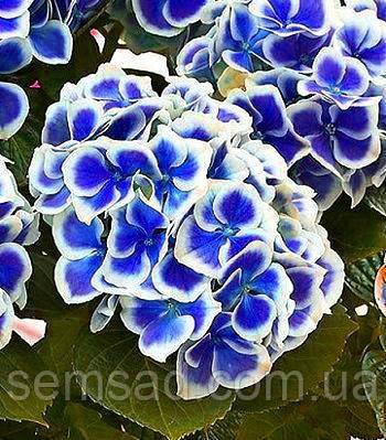 Гортензия крупнолистная Бавария \ Hydrangea macrophylla Bavaria ( саженцы)