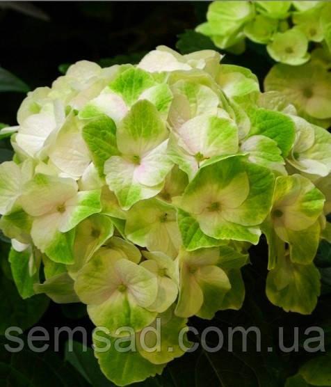 Гортензия крупнолистная Мэджикал Ноблесс \ Hydrangea macrophylla Magical 'Noblesse ( саженцы )