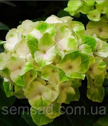 Гортензия крупнолистная Мэджикал Ноблесс \ Hydrangea macrophylla Magical 'Noblesse ( саженцы ), фото 2
