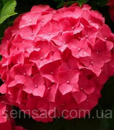 Гортензия крупнолистная Чарм Ред \ Hydrangea macrophylla Charm red ( саженцы )