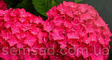 Гортензия крупнолистная Чарм Ред \ Hydrangea macrophylla Charm red ( саженцы ), фото 2