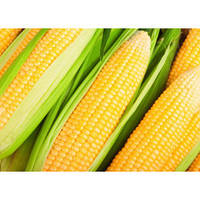 Кукуруза желтая сахарная Бостон Ф1 кг