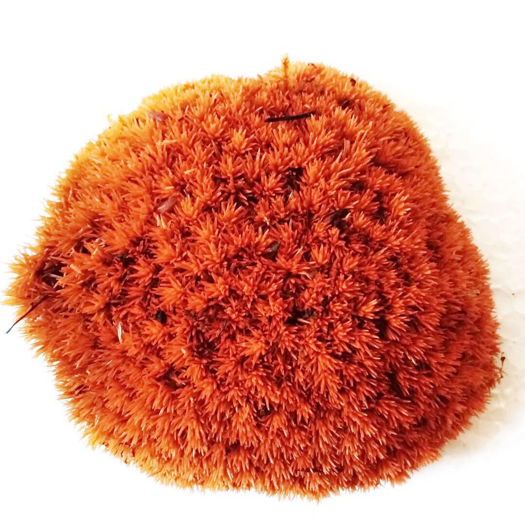 Декоративный мох оранжевый