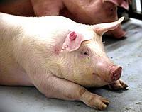 БВМД Рост Финиш для Свиней « Golden Pig » 15-10% SHENCON