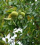 Маклюра (Адамово яблоко)- Состав, Свойства, Применение, Противопоказания.