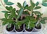 Адениумы - посев и выращивание в домашних условиях.