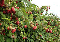 Саженцы малины сорт Октавия (поздний сорт)