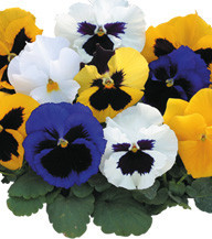 Семена виола Династия 500 шт. Kitano Seeds Formula Mixed