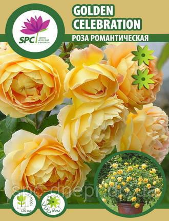Роза романтическая Golden Celebration, фото 2