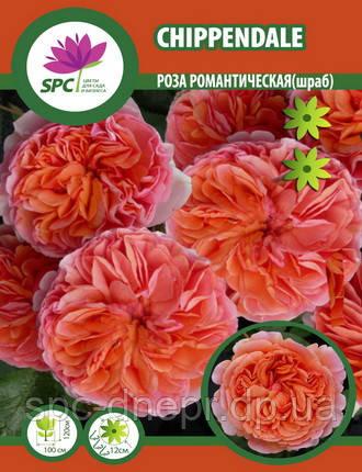 Роза романтическая Chippendale
