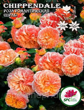 Роза романтическая Chippendale, фото 2