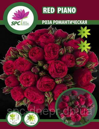 Роза романтическая Red Piano