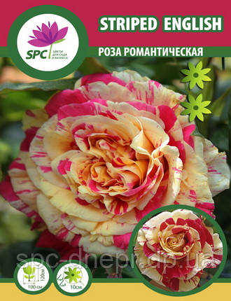 Роза романтическая Streped English