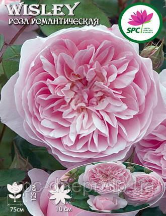 Роза романтическая Wisley 2008, фото 2