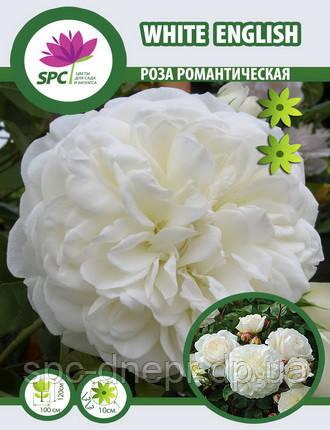 Роза романтическая White English, фото 2