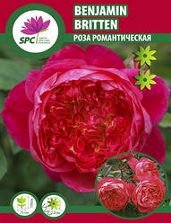 Роза романтическая Benjamin Britten