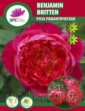 Роза романтическая Benjamin Britten, фото 2