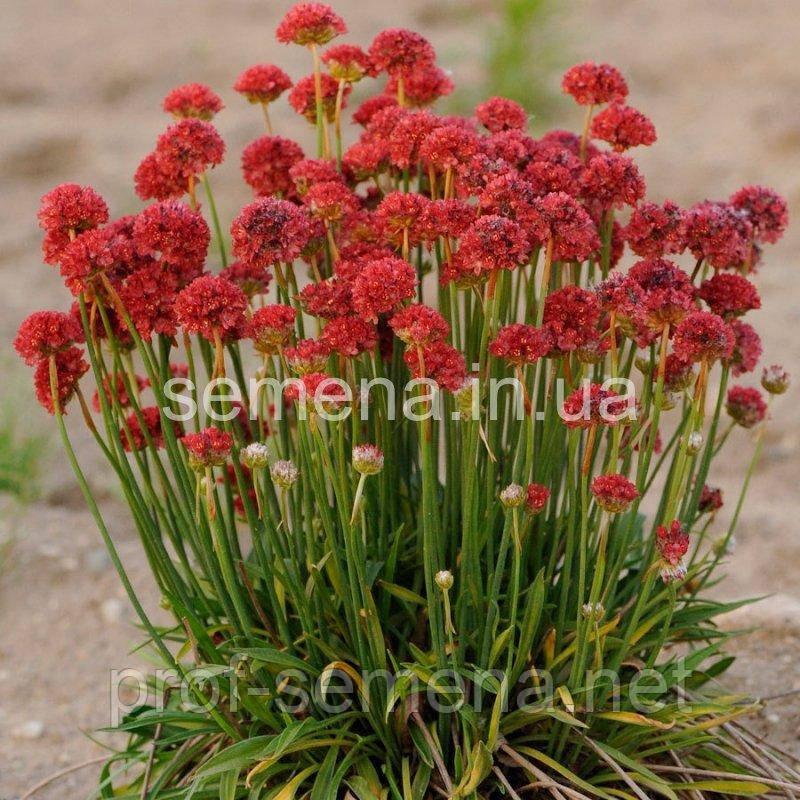 Армерія Балерина (червона) 100 шт.