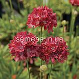 Армерія Балерина (червона) 100 шт., фото 2