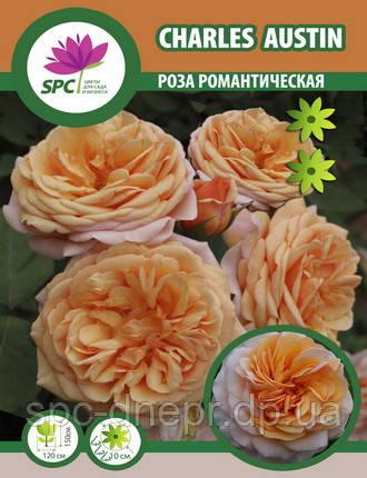 Роза романтическая Charles Austin, фото 2