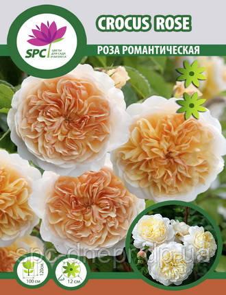Роза романтическая Crocus Rose
