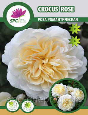 Роза романтическая Crocus Rose, фото 2