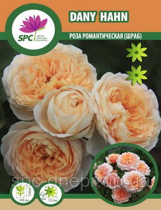 Роза романтическая Dany Hahn