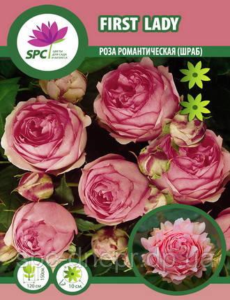 Роза романтическая First Lady
