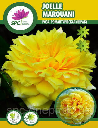 Роза романтическая Joelle Marouani