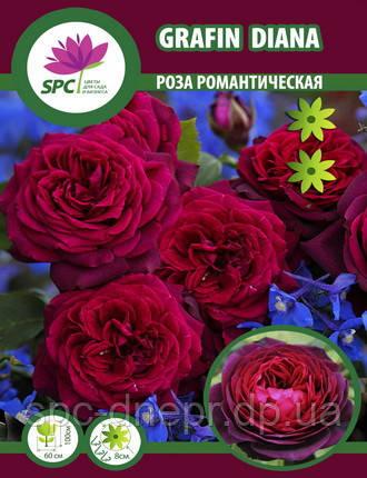 Роза романтическая Gräfin Diana, фото 2