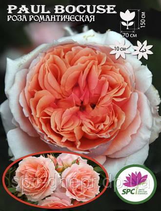 Роза романтическая Paul Bocuse