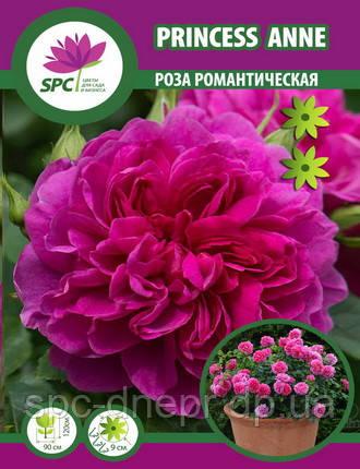 Роза романтическая Princess Anne
