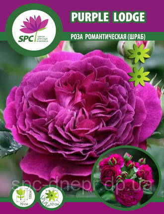 Роза романтическая Purple Lodge