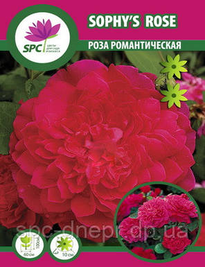 Роза романтическая Sophy's Rose, фото 2
