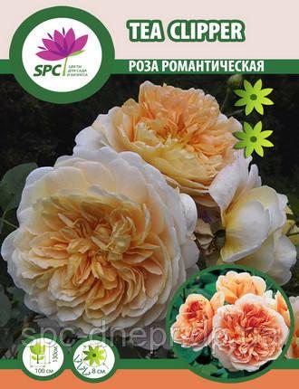 Роза романтическая Tea Clipper