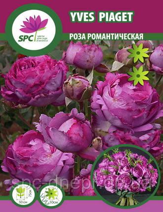 Роза романтическая Yves Piaget
