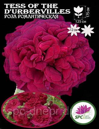 Роза романтическая Tess of the d'Urbervilles, фото 2