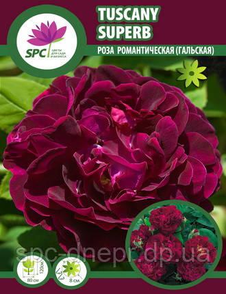 Роза гальская Tuscany Superb
