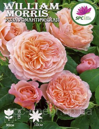 Роза романтическая William Morris