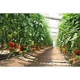 Ралли F1 500 шт. семена томата высокорослого Enza Zaden Голландия, фото 2