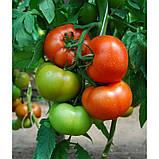 Ралли F1 500 шт. семена томата высокорослого Enza Zaden Голландия, фото 3