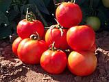 Ралли F1 500 шт. семена томата высокорослого Enza Zaden Голландия, фото 5