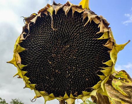 Семена подсолнечника НС Сумо 007 (НС Х 6059)  под Гранстар, фото 2