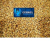 Канадский трансгенный сорт мягкой  пшеницы двуручки АMADEO