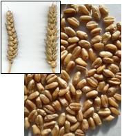 Семена пшеницы   Героиня