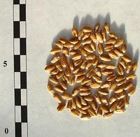Семена пшеницы   Любимая