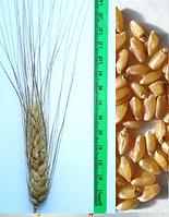 Семена пшеницы  Наследие