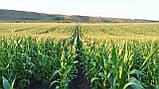 Семена кукурузы Новый ФАО 330, фото 2